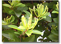 HoneySuchle Flowers Extract