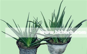 Aloe vera extract benfits for drink