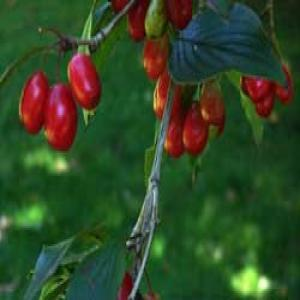Asiatic Cornelian Cherry Fruit Extract(Fructus corni extract)