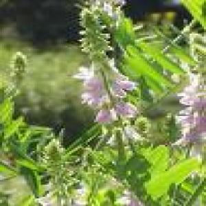 Goat´s Rue extract(Cheese Rennet extract)