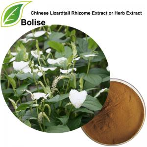 Chinese Lizardtail Rhizome Extract or Herb Extract