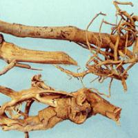 Baphicacanthus Root Extract