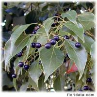 Camphor extract