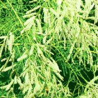 Chinese Tamarisk Twig Extract(Cacumen Tamaricis Extract)